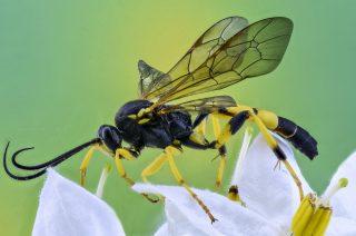 Macro Foto di una vespa