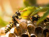 Vespe, vespa - Interpretazione dei sogni