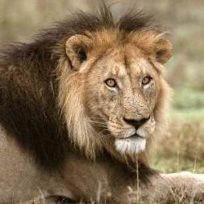 leoni sogno interpretazione leone