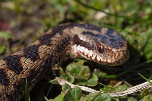 Serpente , vipera - Interpretazione dei sogni