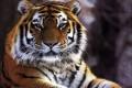 Tigre  - Interpretazione dei sogni