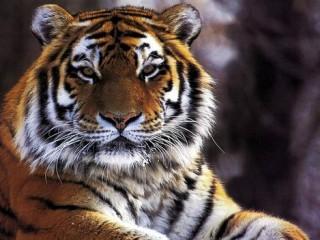 Tigre  – Interpretazione dei sogni -