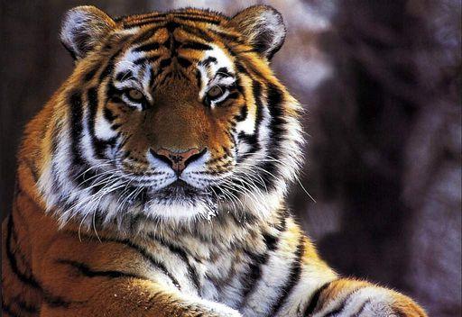 La tigre nei sogni