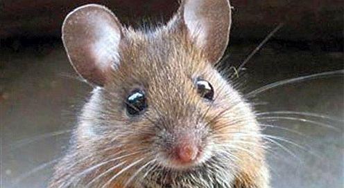 Sognare topo o topi