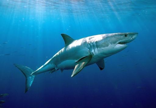 Sognare squalo, squali