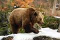 Orso, orsi - Interpretazione dei sogni