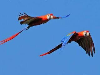 Pappagalli che volano