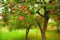 Albero di mele, melo - Interpretazione dei sogni