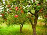 Albero di mele, melo – Interpretazione dei sogni