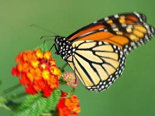 Farfalla o farfalle - significato del sogno