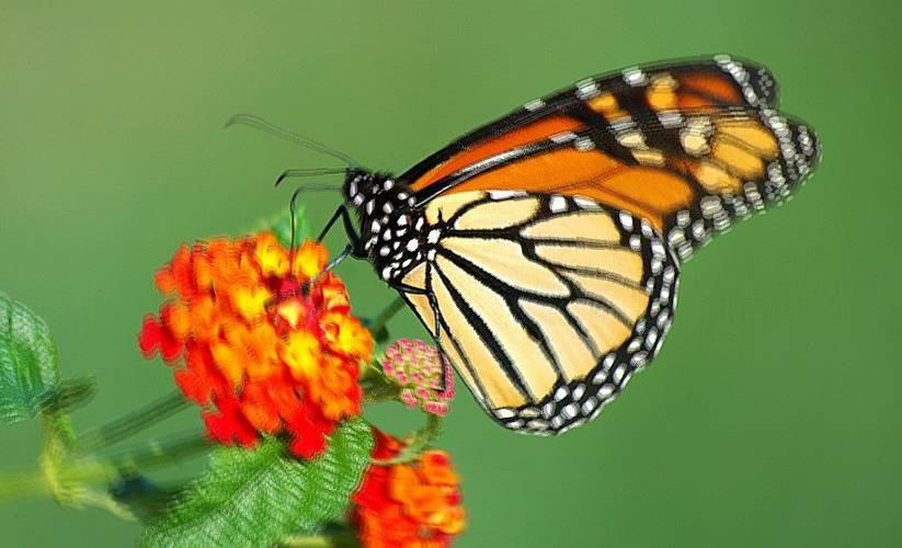 Farfalla farfalle interpretazione dei sogni romoletto for Foto farfalle colorate
