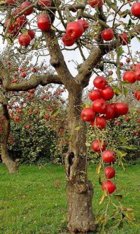 Un melo con la frutta matura