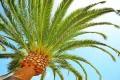 Palma, palme - Interpretazione dei sogni