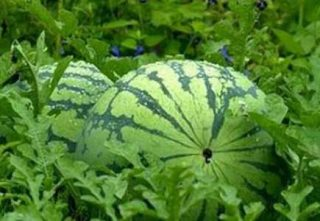 Anguria sulla pianta