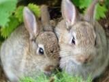 <b>Conigli, coniglio - Interpretazione dei sogni</b>