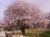 Mandorlo, albero - Interpretazione dei sogni