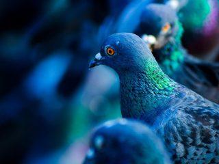 Piccioni, colombi - Interpretazione dei sogni