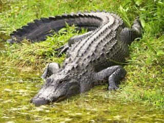 Alligatore a terra