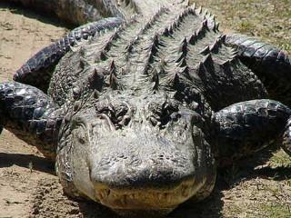 Alligatore americano