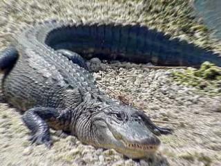Alligatori, alligatore - Interpretazione dei sogni