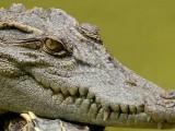 Coccodrilli, coccodrillo - Interpretazione dei sogni