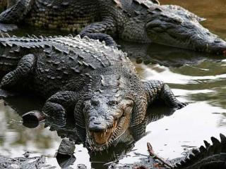 Coccodrilli in acqua