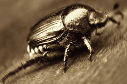 Scarafaggi, scarafaggio - Interpretazione dei sogni