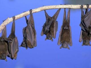 Pipistrelli giganti appollaiati
