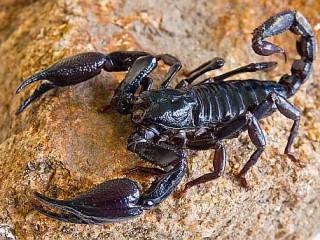Scorpione imperatore