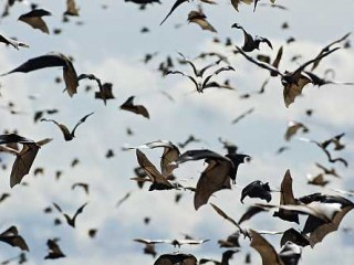 Stormo di pipistrelli