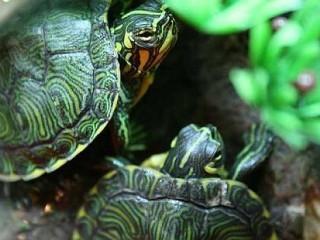 Tartarughe tartaruga interpretazione dei sogni for Tartaruga acqua dolce razze