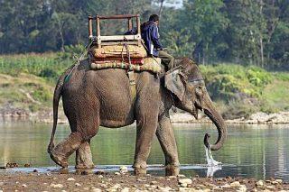 Elefanti Indiani