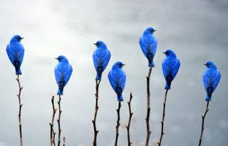 Uccelli azzurri