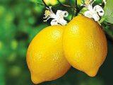Limoni, limone - Interpretazione dei sogni