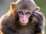Scimmie, scimmia – Interpretazione dei sogni