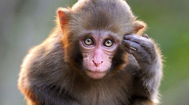 Scimmia Che Ride Disegno.Scimmie Scimmia Interpretazione Dei Sogni Romoletto Blog