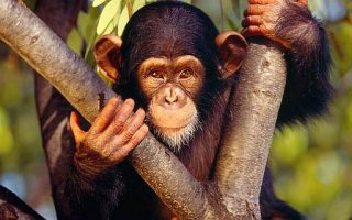 Scimmie - Scimpanzè