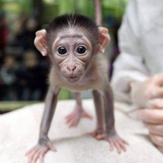 Scimmie - cucciolo di scimmia