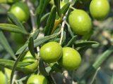 Olive - Interpretazione dei sogni