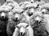 Pecore, pecora – Interpretazione dei sogni