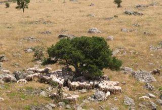 Pecore al pascolo in Sardegna