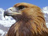 Aquila, aquile – Interpretazione dei sogni