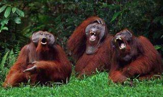 Oranghi che sembrano ridere