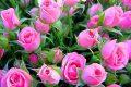 Rose, rosa - Interpretazione dei sogni