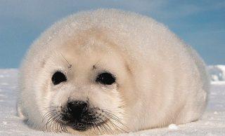 Cucciolo di foca polare