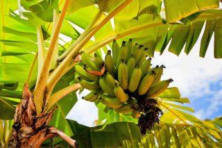 Albero di banane