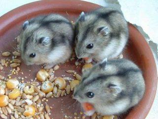 Cricetini russi