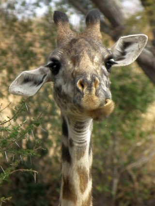 Giraffa masai - sfondo desktop