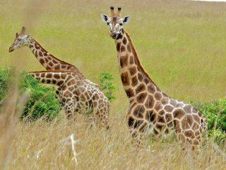 Giraffe nella savana - sfondo desktop