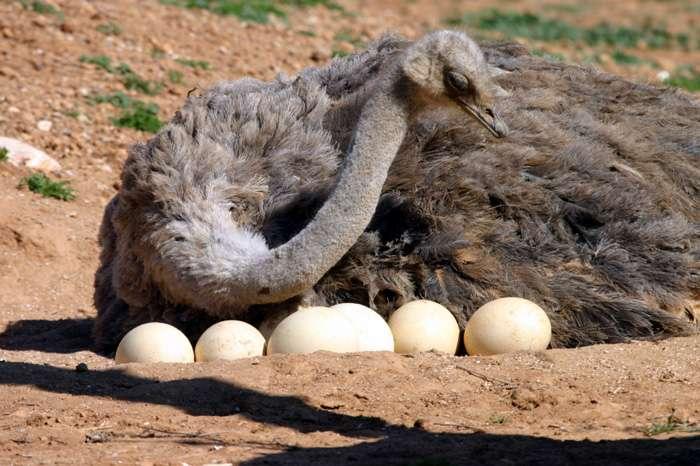 Struzzo che cova le uova